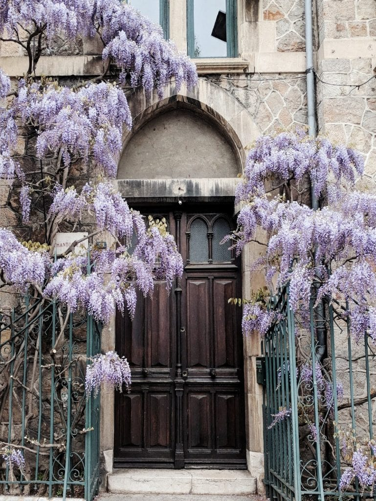 wisteria in Grenoble