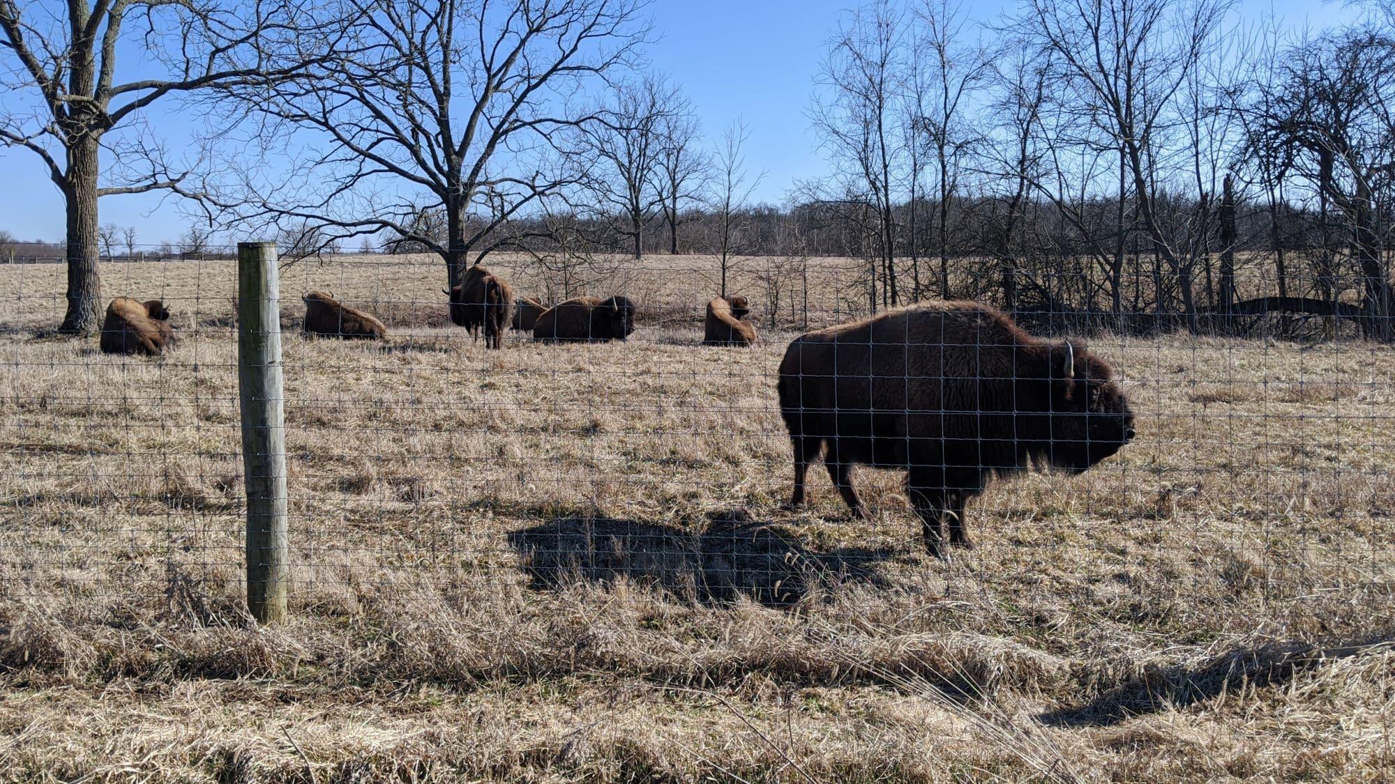 Herd of bison in their prairie enclosure at Battelle Darby