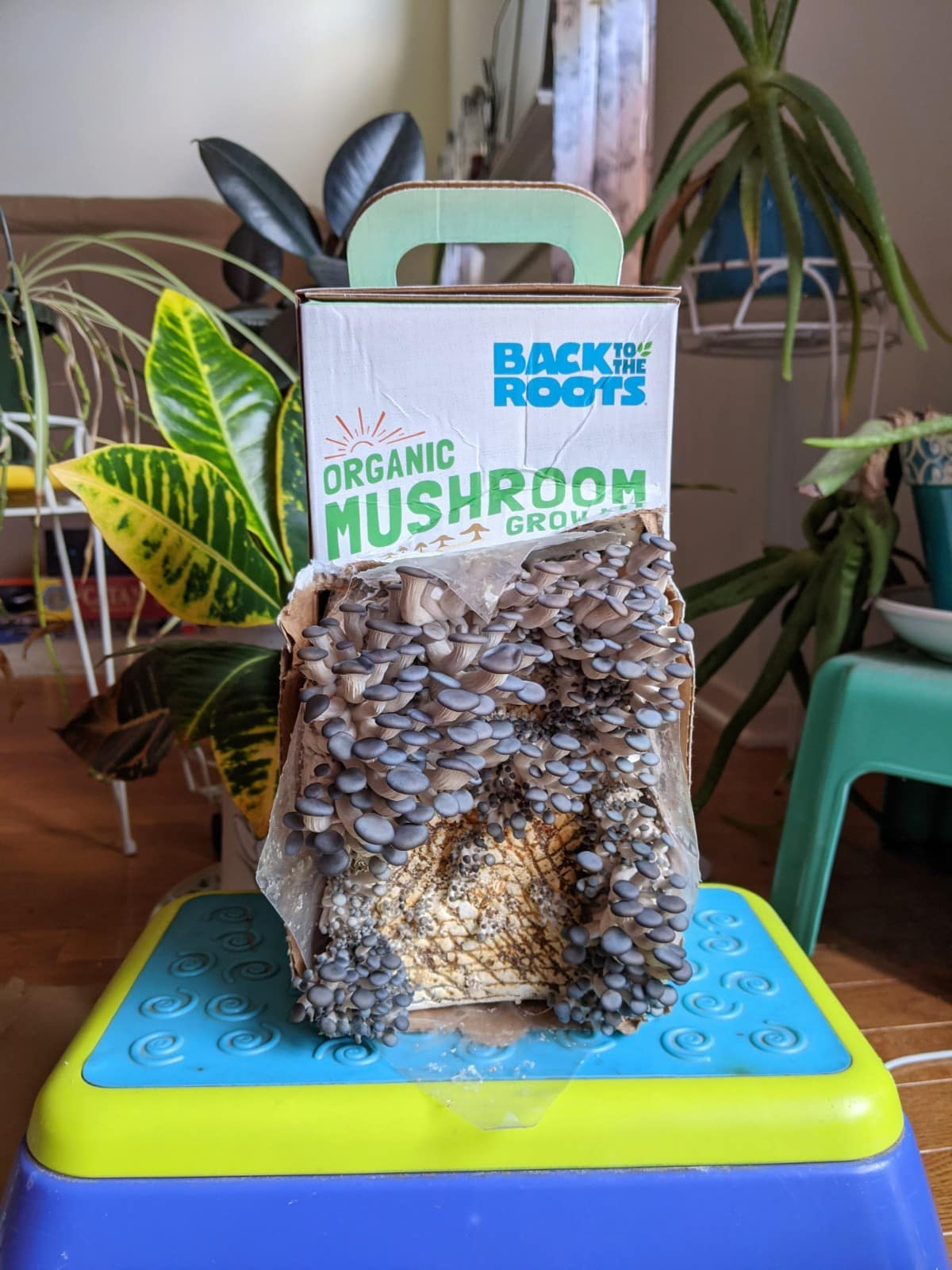 Day 5 of the Back to the Roots oyster mushroom kit