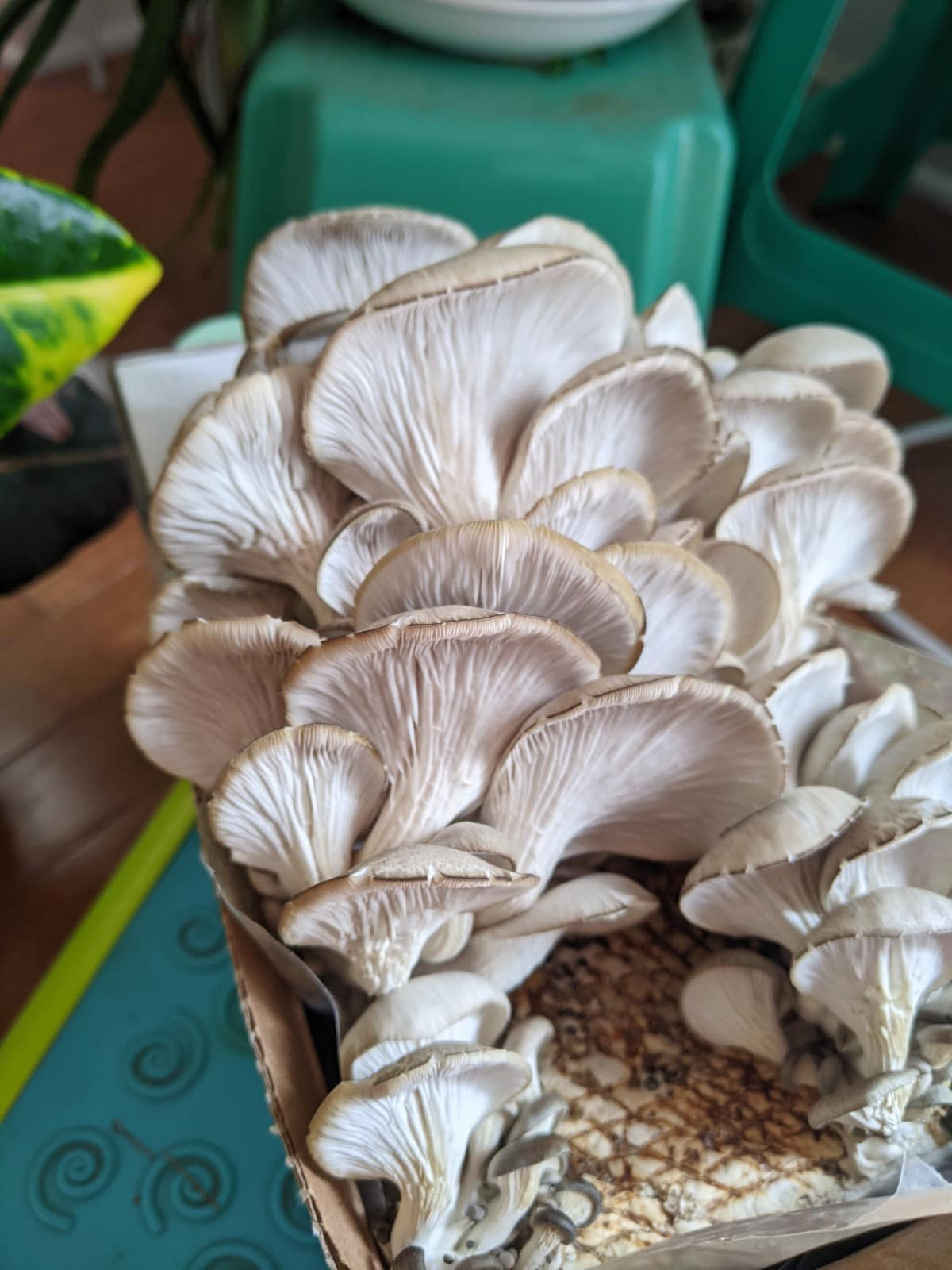 Day 7 of the Back to the Roots oyster mushroom kit