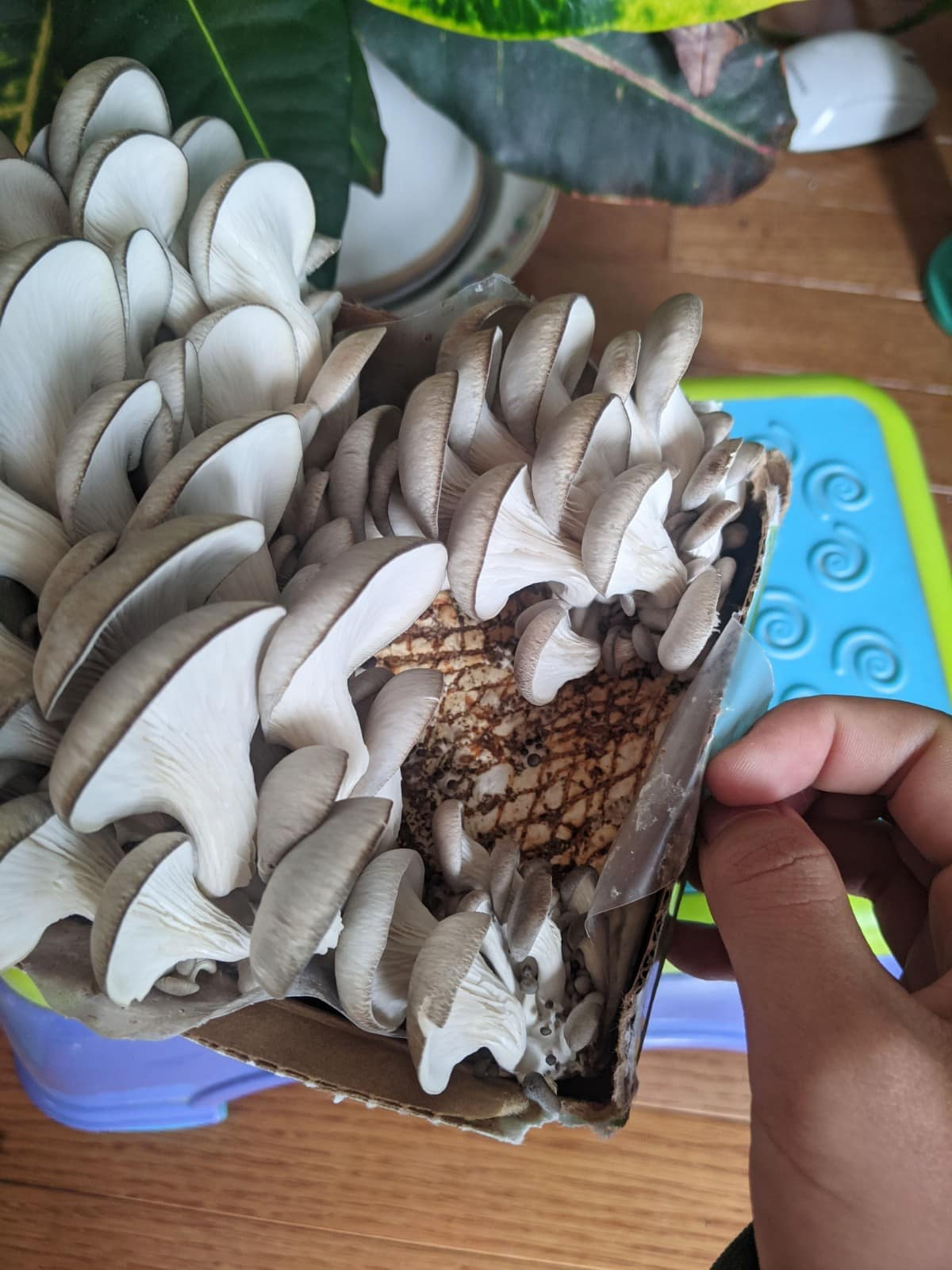 Day 6 of the Back to the Roots oyster mushroom kit
