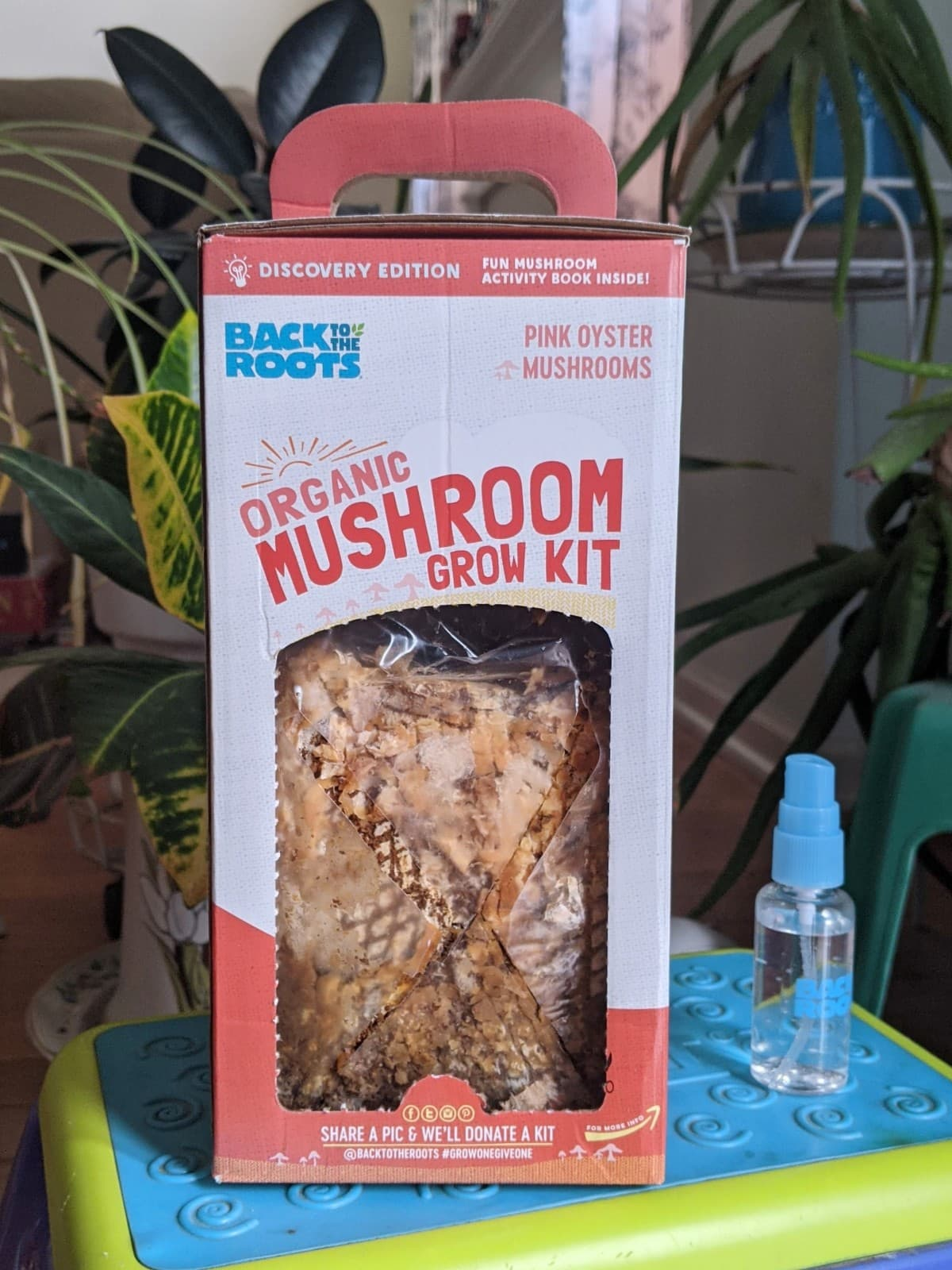 Later on day 1 of the Back to the Roots pink oyster mushroom kit, with more visible tiny caps